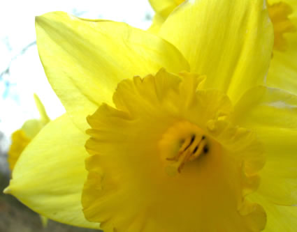 the daffodil, a welsh icon